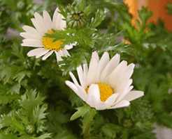 菊花茶になる菊の花